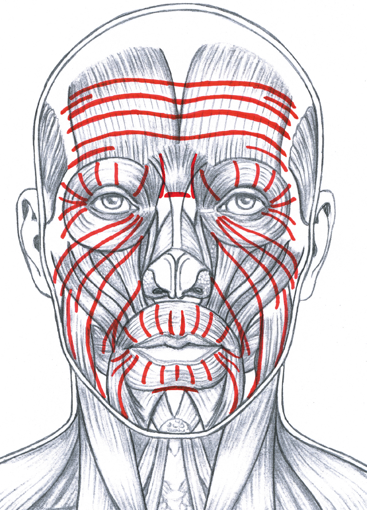 The Red Lines Indicate The General Pattern Of Facial