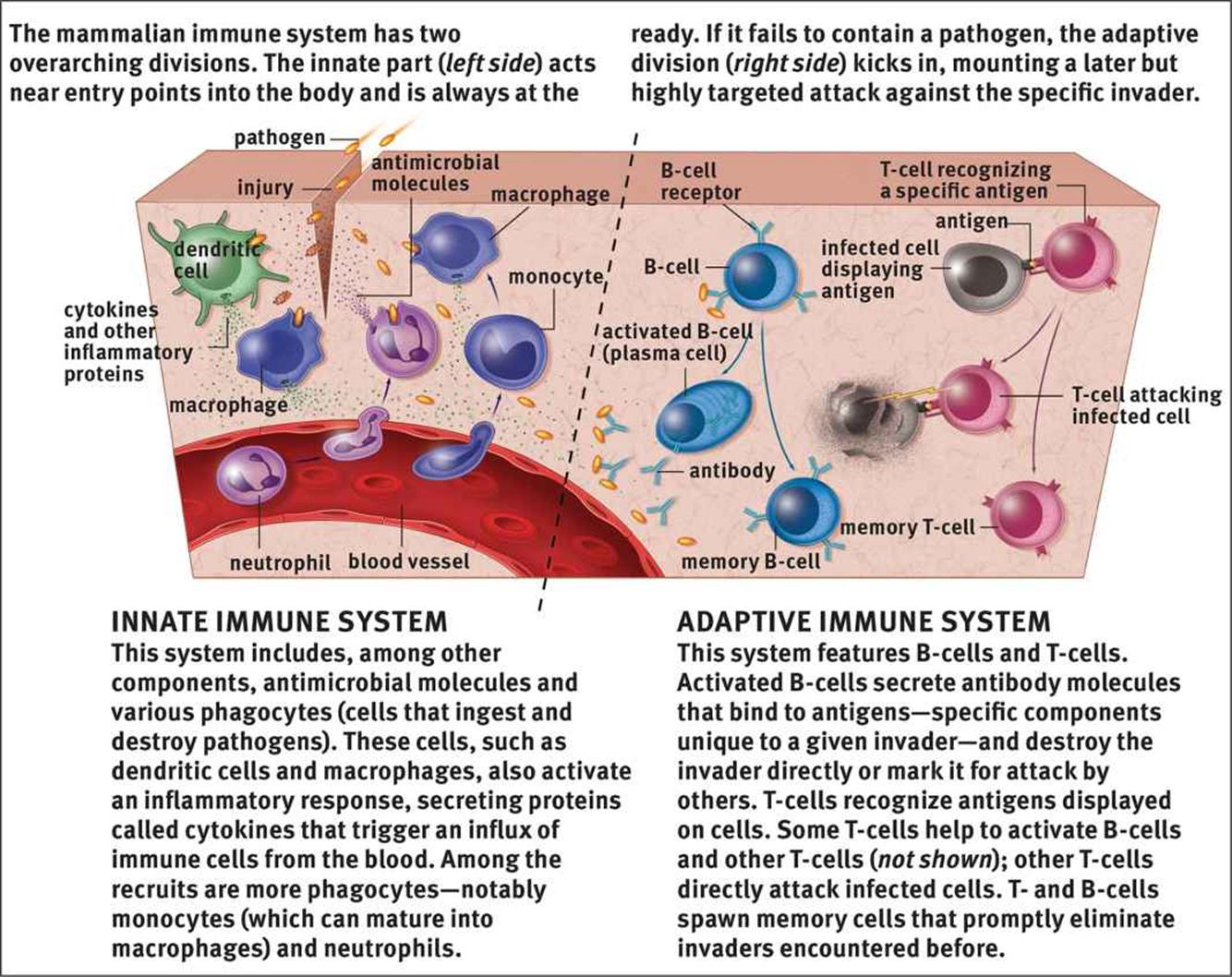 Structure Of The Immune System