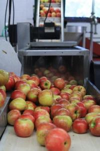 Thousands upon thousands of apples are pressed into the best possible apple cider.
