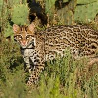 Welcome Back Ocelots