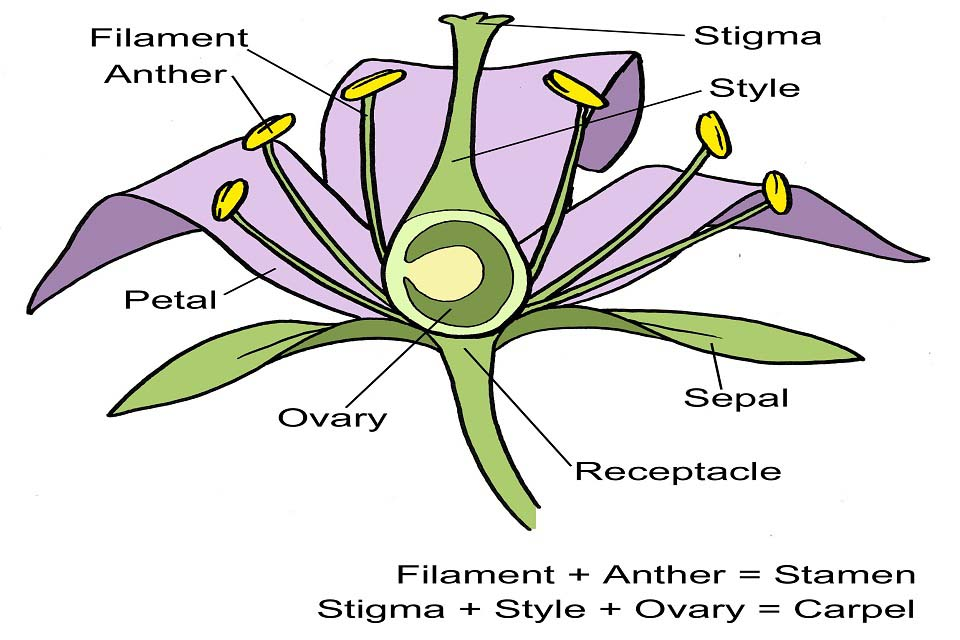 Flower structure diagram  RHS Campaign for School Gardening