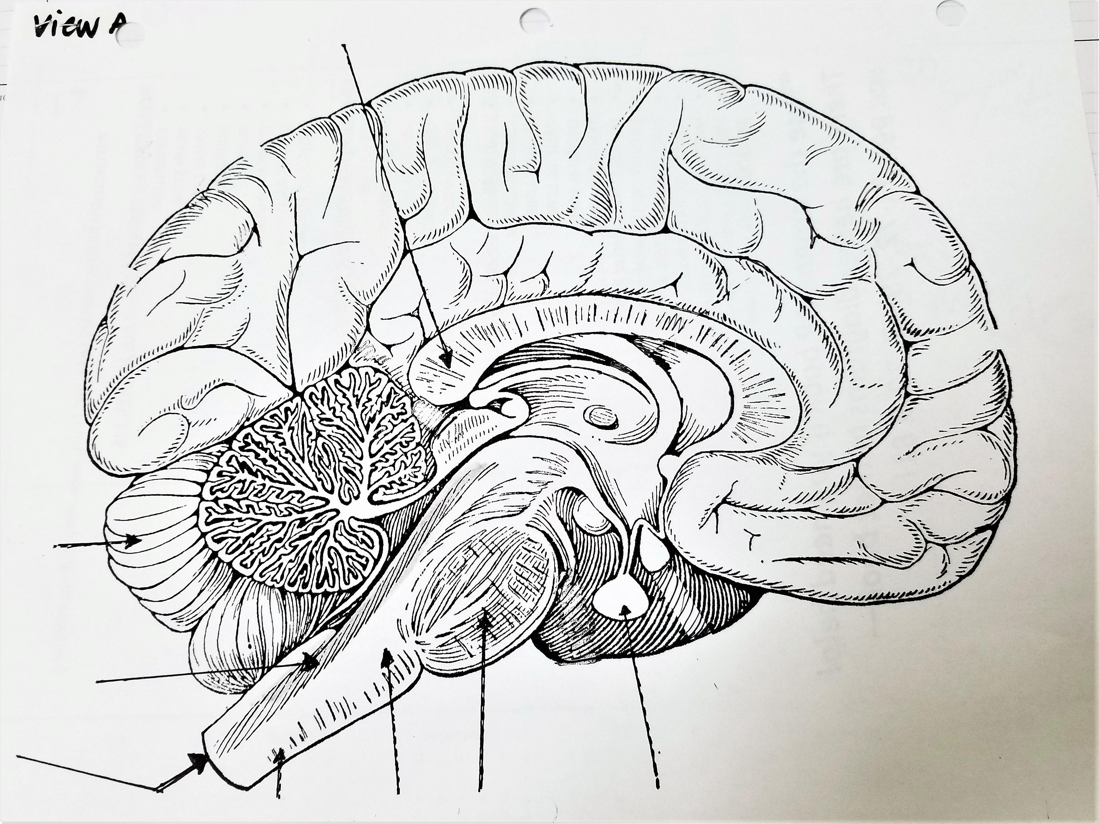 Legg Tammy Brain Diagrams Label Amp Color