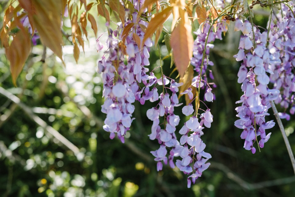 Wisteria at the front of our Country Hotel in Swellendam