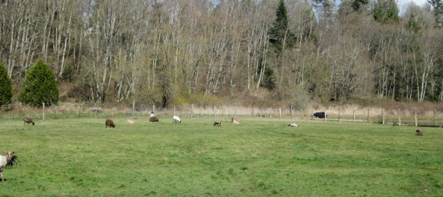 sheared sheep on pasture