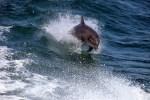 Sollten Sie Delfine auf ihrer Schottlandreise beobachten wollen, dann ist der Moray Forth ihre erste Adresse.