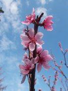 pfirsichblüte vor blauem himmel zu emotionale sprache