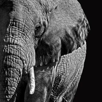 Elefant_komp