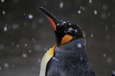 Pinguin_komp