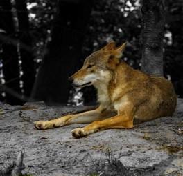 Wolf_komp