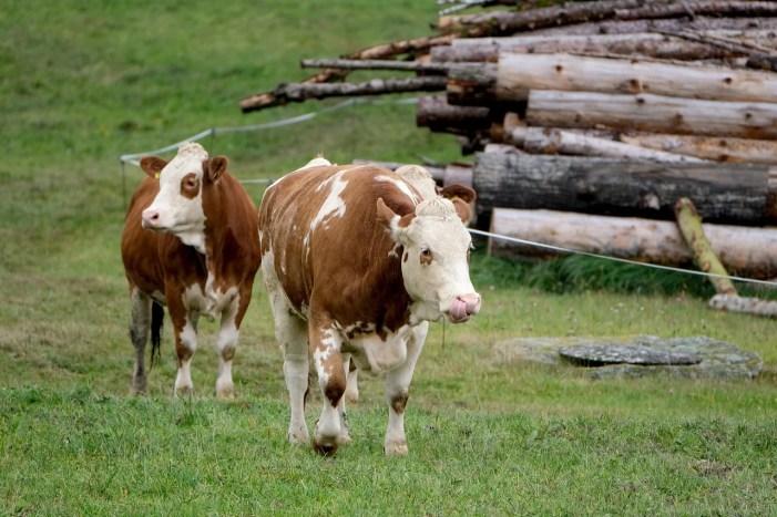 Schwerin: Kuh im Gleisbett gefährdet Regionalexpress