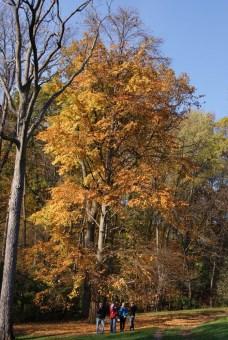 Katsura tree fall foliage.