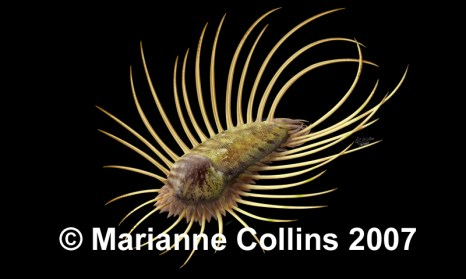 Orthrozanclus – Burgess Shale fossil reconstruction by Marianne Collins