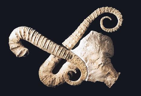ancyloceras ammonite