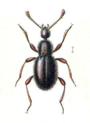Scydmaenus tersatus an ant-like beetle