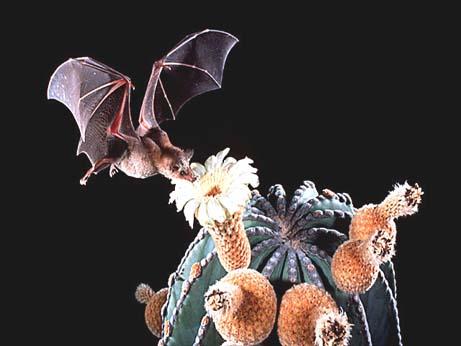 bat pollinating a cactus
