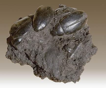 Hydrophilius Fossil