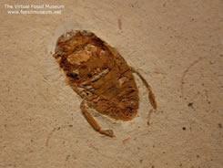 Dystiscidae Fossil