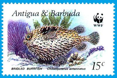 Bridled Burrfish