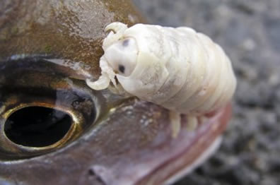 the isopod Cymothoa exigua
