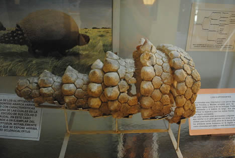 glyptodont tail