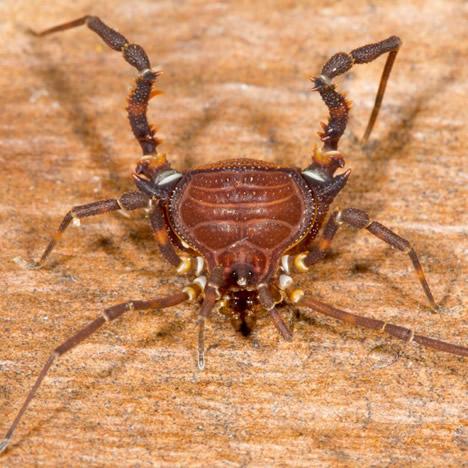 harvestman species Brazil