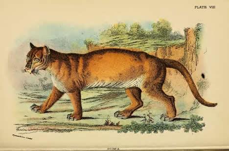 Puma by Lydekker