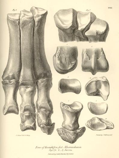 Macrauchenia foot bones
