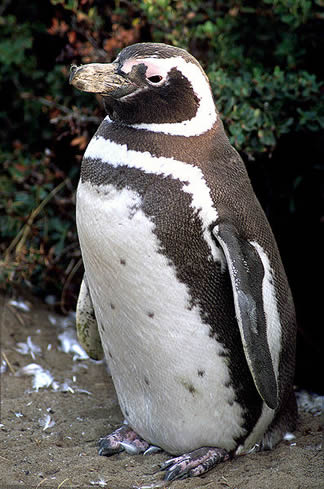 Maggellanic Penguins