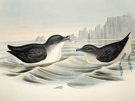 Common Diving Petrels