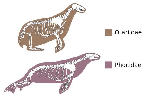 seal vs. sea lion