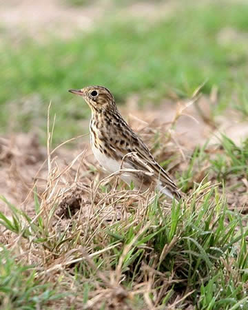 short billed pipit