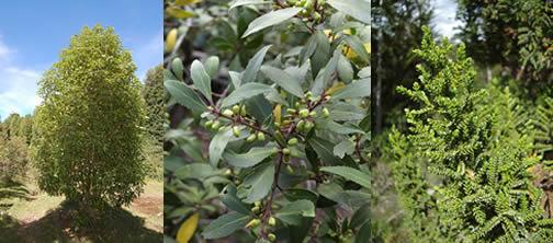 Winter's bark, Magellan's mayten and Pilgerodendron