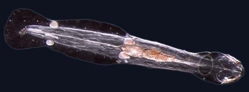 Spadella cephaloptera