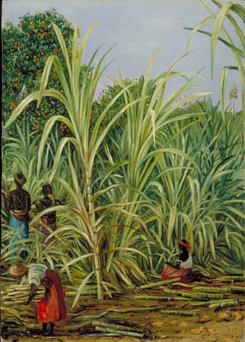 Harvesting sugarcane in Brazil