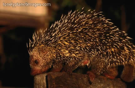 Thin-spined porcupine
