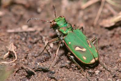 tiger beetle/Cicindela ohlone