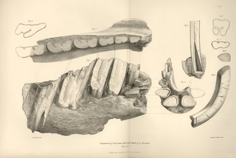 toxodon jaw from Zoology of the Voyage of the Beagle
