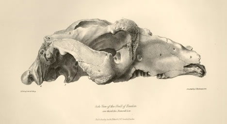 toxodon skull from Zoology of the Voyage of the Beagle