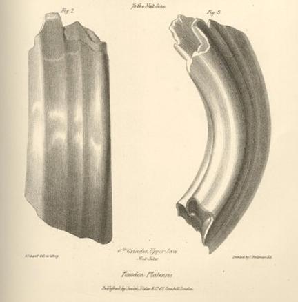 toxodon teeth