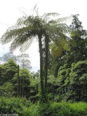 Brazilian tree fern