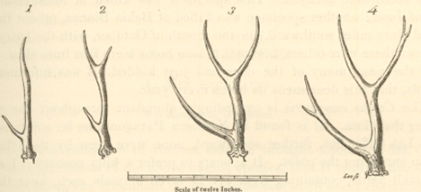 Pampas deer antler sketch from Zoology of the Beagle