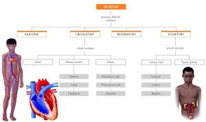 Circulatory system | Science for 6th grade