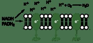Respiration: Glycolysis, Krebs Cycle, and Electron