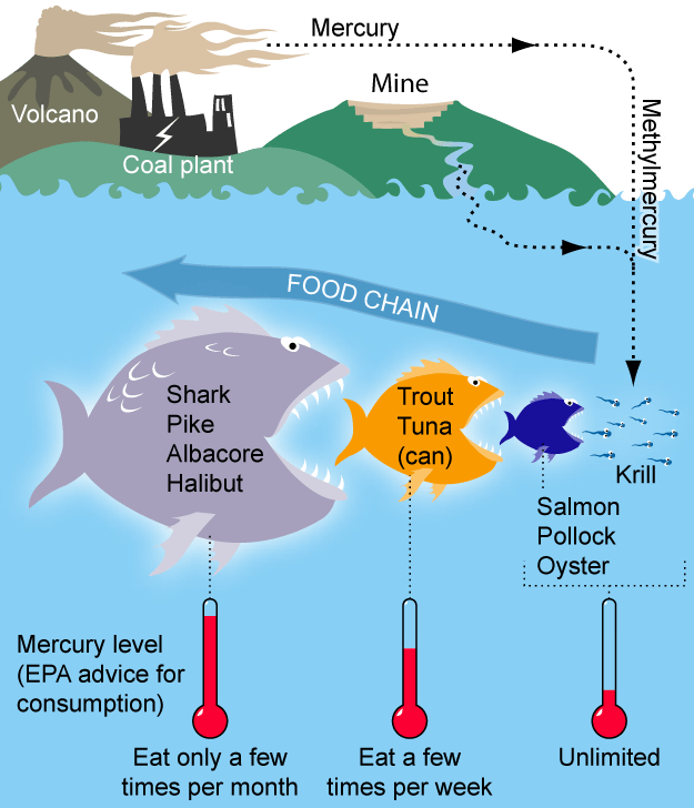 How Does Bioaccumulation Affect The Food Chain