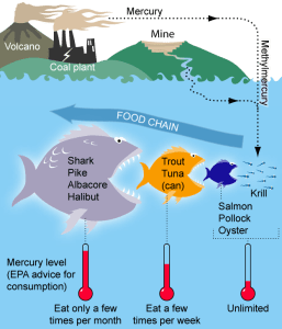 Bioaccumulation of mercury in Marine Life