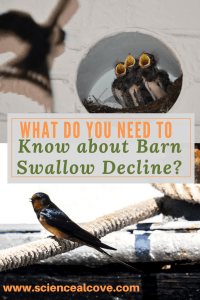 What do you Need to Know about Barn Swallow Decline-http://sciencealcove.com/2014/08/decline-barn-swallows/