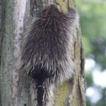 Porcupine in my Front Yard