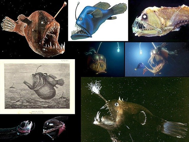 Wolf Trap Anglerfish Why is the Awes...
