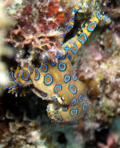 Greater blue-ringed octopus. Hapalochlaena lunulata. Taken at Tasik Ria, North Sulawesi, Indonesia. Jens Petersen (Own work), CC-BY-SA-3.0, via Wiki Commons