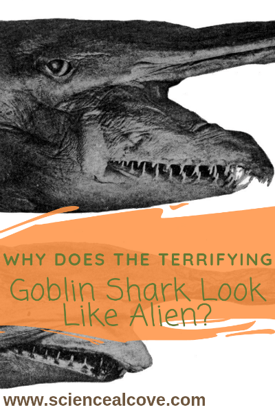 Why does the Terrifying Goblin Shark Look Like Alien?